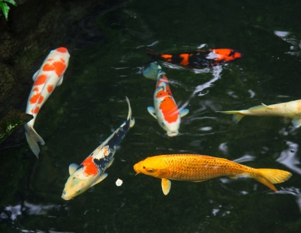 Home and lifestyle archives bekins for Koi fish species